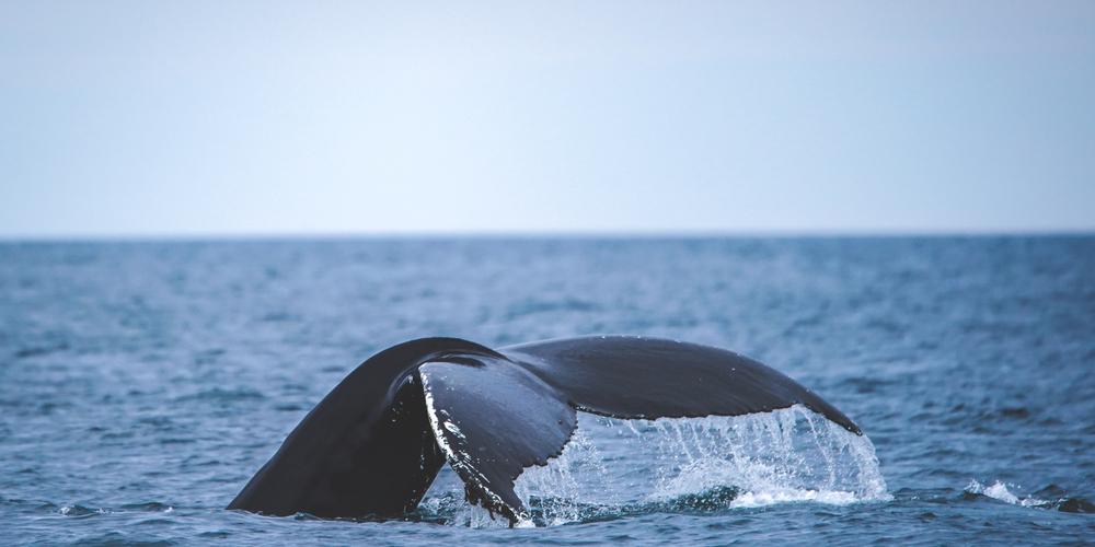 Zotcar - la reunion voir les baleines - pointe au sel baleine ile de la reunion